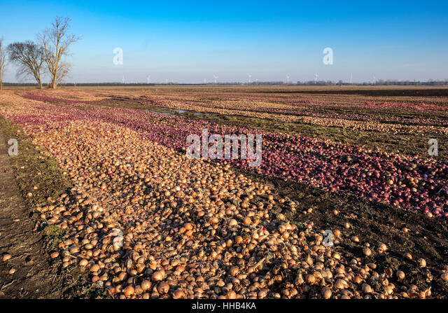 Discarded white and red onions left to rotten in a farm field in the Region of Lambton Shores, Southwest Ontario, - Stock Image