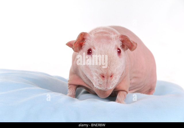 Skinny breeded cavy on a pillow - Stock Image