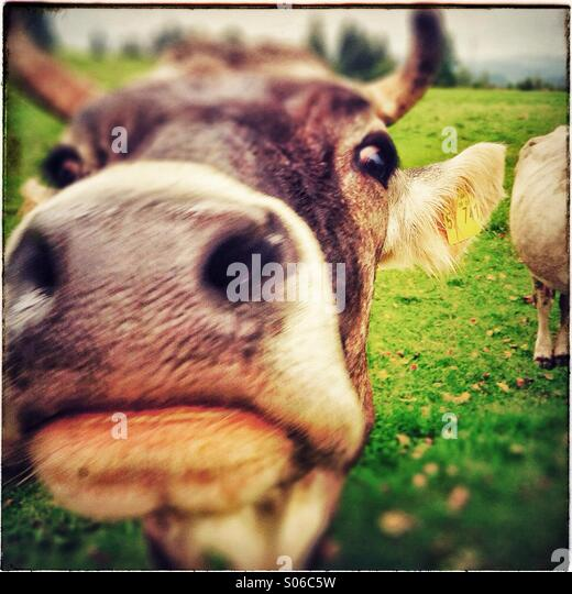 Cow portrait in Allgäu, Bavaria, Germany, Europe - Stock Image