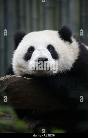 Giant Panda at the Giant Panda Research Station San Diego Zoo in Balboa Park San Diego California - Stock Image