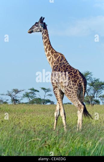 Uganda Giraffe Giraffa camelopardalis rothschildi at Seronera in Serengeti, Tanzania - Stock Image