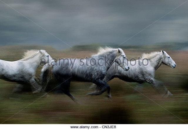 Camargue horses, France - Stock Image