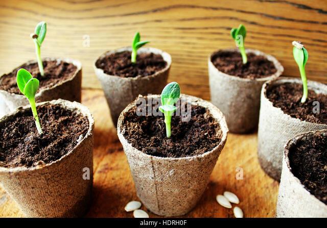 Gardening background.Young fresh seedling growing in pot. - Stock Image