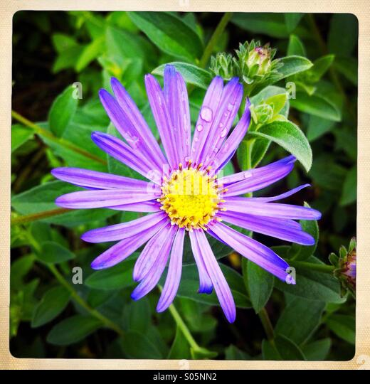 A purple flower - Stock Image