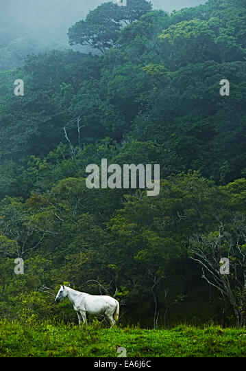 Costa Rica, White horse in jungle - Stock-Bilder