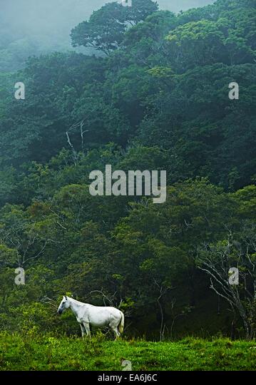 Costa Rica, White horse in jungle - Stock-Bilder
