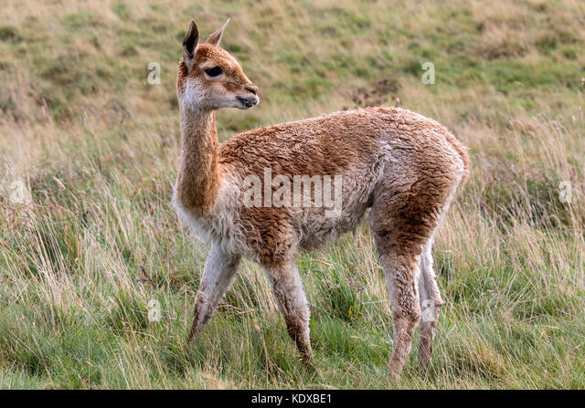 Vicuna in Patagonia in southern Chile. The vicuna is a wild relative of the llama, inhabiting mountainous regions - Stock Image