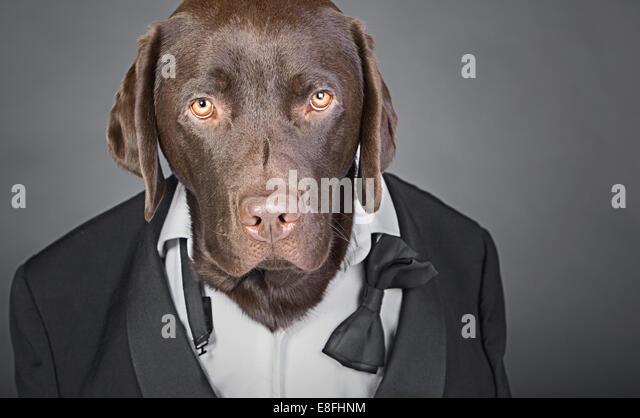 Cool Chocolate Labrador in Tuxedo against a Grey Background - Stock-Bilder