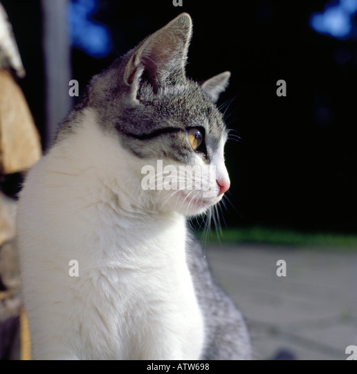 portrait of a domesrtic cat outside. Photo by Willy Matheisl - Stock Image