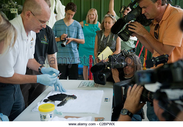 The press films sea turtles brought into the Audubon Nature Institute. - Stock Image