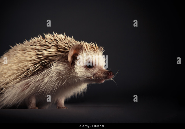 Studio portrait of a hedgehog on a black background. - Stock-Bilder