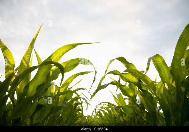 Young corn crop - Stock Image