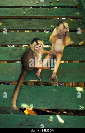 White-fronted Capuchin Monkeys (Cebus albifrons) on hotel walkway, Rio Negro, Amazonia, Brazil - Stock Image