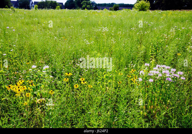 Indiana Valparaiso Butterfly Meadow restored prairie wildflowers black-eyed Susans field nature ecology grassland - Stock Image