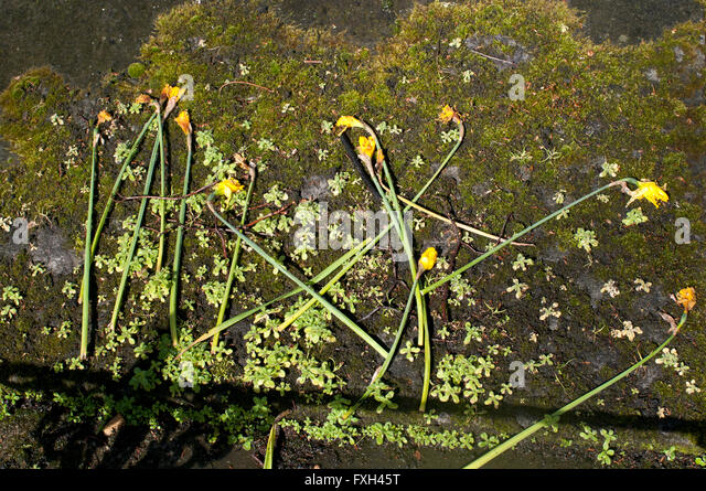 St Pancras Old Church. Decayed daffodils on a moss covered grave. - Stock Image