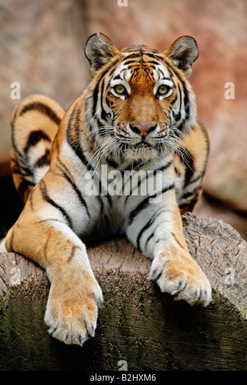 Sibirischer Tiger Panthera tigris altaica Siberian Tiger Amur Tiger Bayern Deutschland Germany - Stock Image