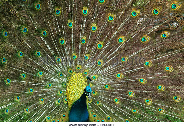 A peafowl displays his beautiful tail feathers. - Stock Image