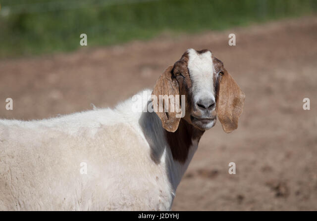Goat4443   - Stock Image