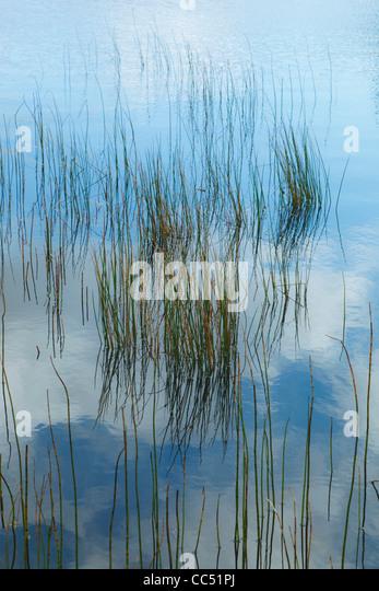 Reeds in Gougane Barra Lake in Gougane Barra Forest Park, County Cork, Republic of Ireland. - Stock Image