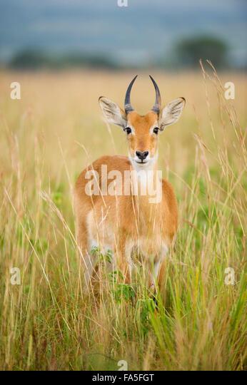 Uganda Kob (kobus kob thomasi), Murchison Falls National Park, Uganda - Stock Image
