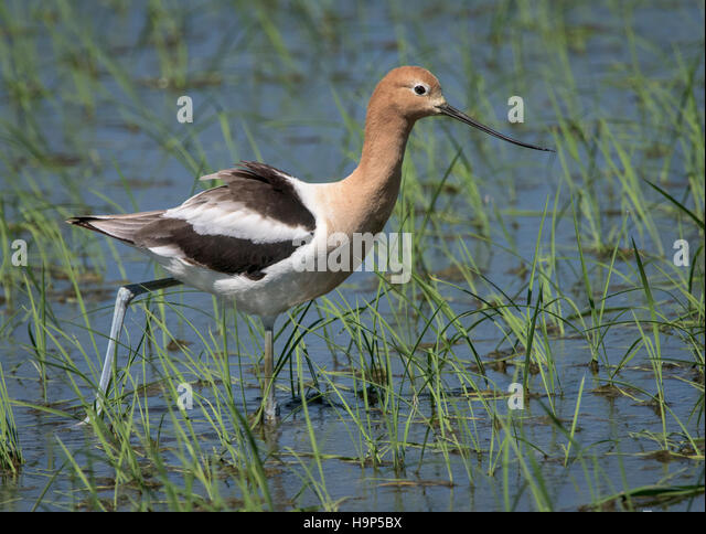 Close up of American Avocet in Breeding Plumage in Rice Paddy - Stock Image
