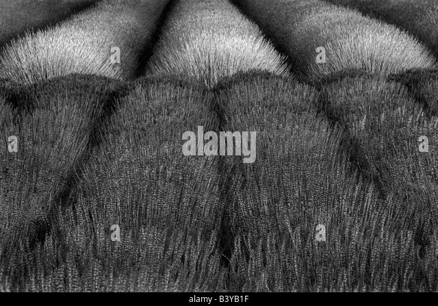 Rows of lavendar Angels Lavender Farm Washington - Stock Image