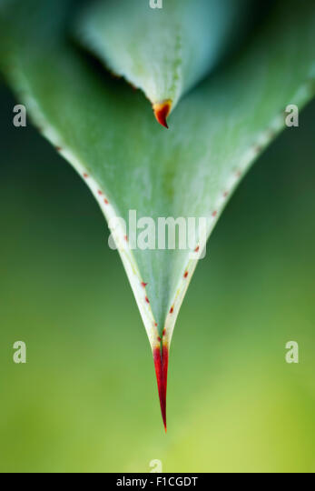 Close-up view of aloe plant leaves and thorns from above - Stock Image