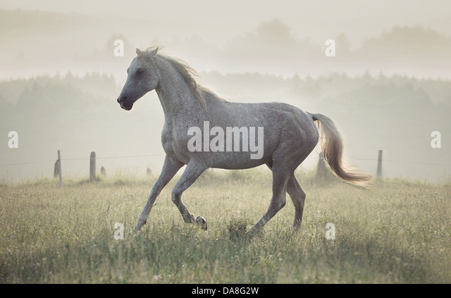 Spotted white horse running through the green meadow - Stock Image