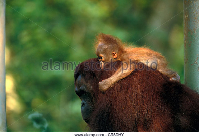 Bornean orangutan and baby, Indonesia - Stock Image