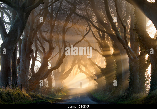 A silhouetted figure adds to the shrouded mood as the rays of sun light lift the fog on the Dark Hedges in county - Stock-Bilder
