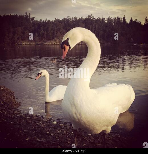 Mute Swans, two, Victoria BC.  Canada - Stock Image