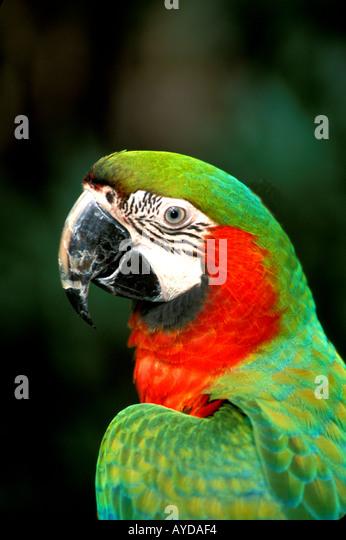 Bahamas Nassau parrot at Ardastra Gardens - Stock Image