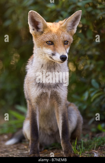 Young red fox (vulpes vulpes) in London - Stock Image