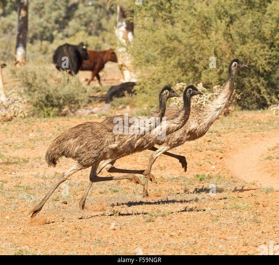 Emu Running Stock Photos Amp Emu Running Stock Images Alamy