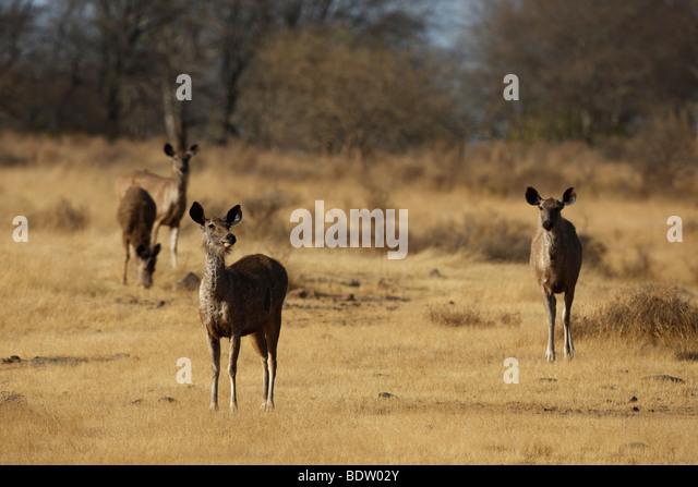sambarhirsch im khana nationalpark, indien, sambar deer, cervus unicolor, khana national park, india - Stock-Bilder