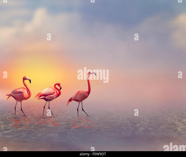 Pink Flamingos Walking at Sunset - Stock Image