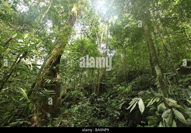 Thick vegetation covers the floor deep inside the jungle on the island of Borneo - Stock-Bilder