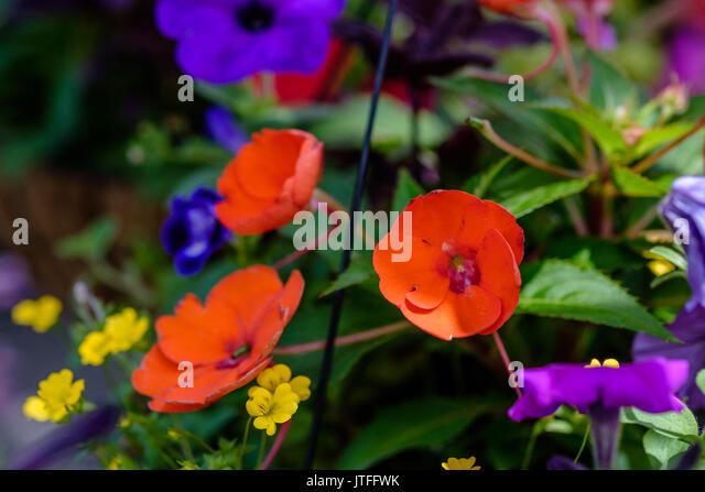 Red impatiens flowers are center of focus with various other garden flowers surrounding in this shallow depth of - Stock Image
