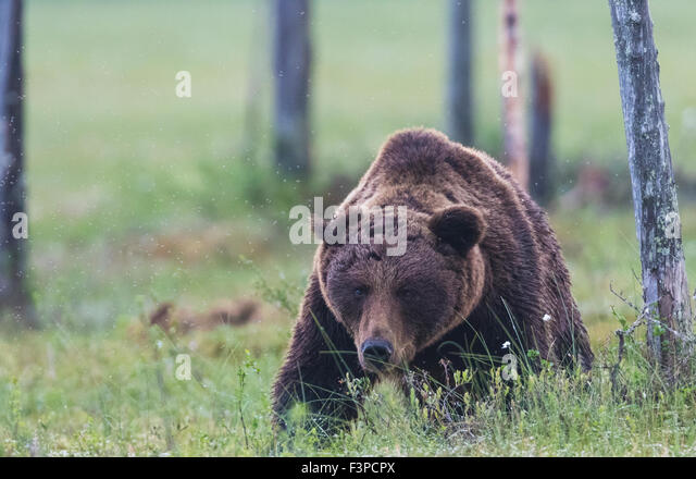 Brown bear, Ursus arctos, walking on a moss towards the camera, lowering his head and looking straight forward, - Stock-Bilder