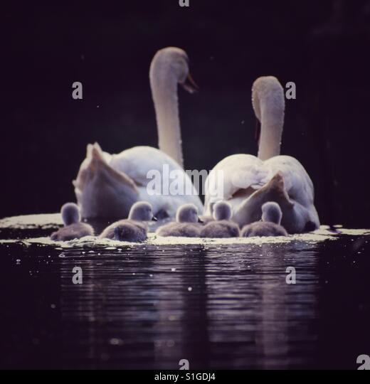 A family of swans - Stock-Bilder