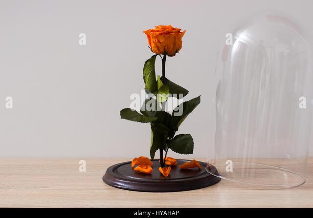 8 march stock photos 8 march stock images alamy for Rose under glass