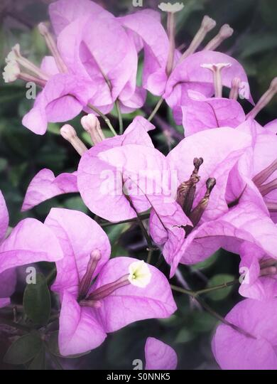 Pink Bougainville flowers - Stock Image