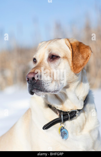 Adult male Yellow Labrador Retriever in a winter setting, Assiniboine Forest, Winnipeg, Manitoba, Canada. - Stock Image