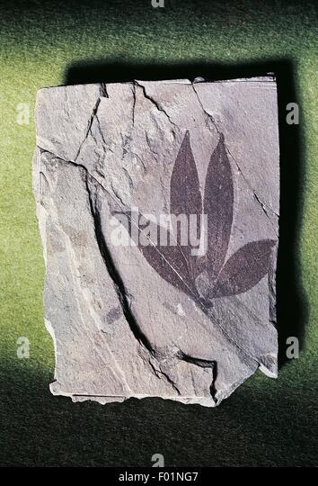 Fossil leaf Impression of Eugenia italica, Myrtaceae. - Stock Image