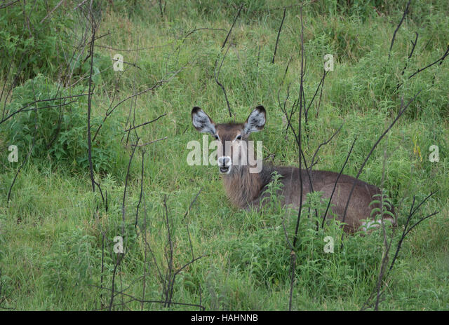 Common Waterbuck in Arusha National Park, Tanzania - Stock Image