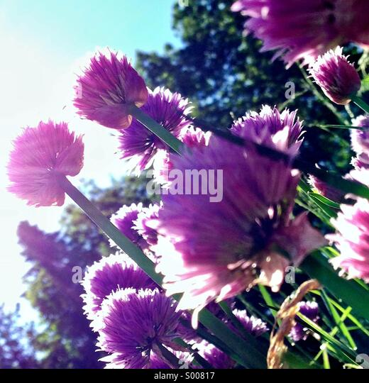 Flowering chives in sunshine - Stock Image