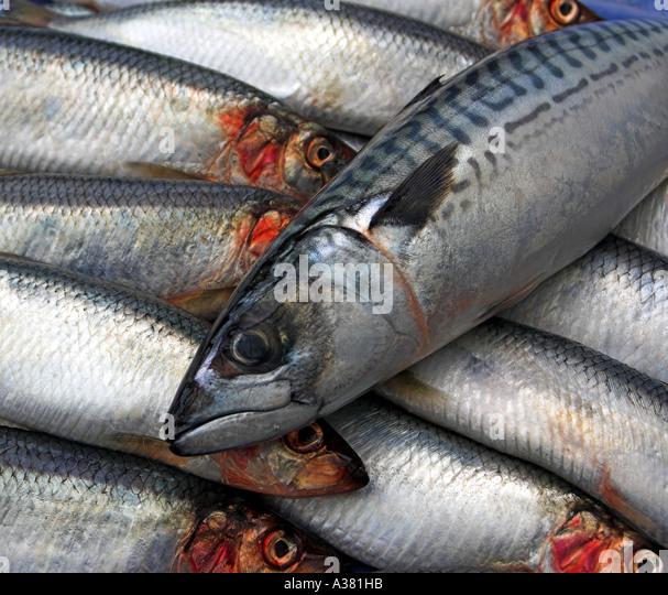 Herrings (Clupea harengus) MACKEREL (Scomber scombrus) - Stock Image