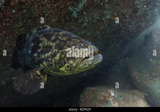 A Goliath Grouper (Epinephelus itajara) from Ilhabela, SE Brazil - Stock Image