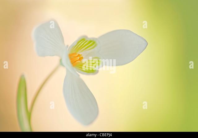 Galanthus nivalis, Snowdrop, White flower subject. - Stock Image