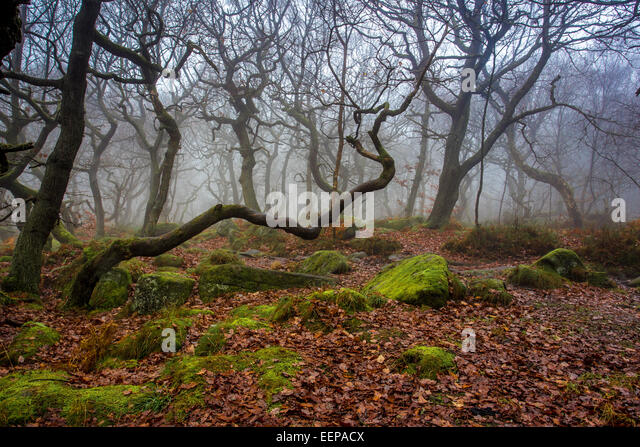 Spooky Tree, Padley Gorge - Stock Image